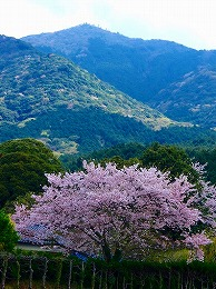 77 4月名もなき桜.jpg